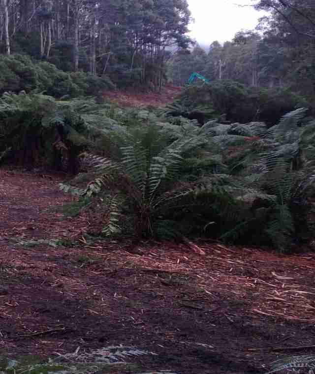 mulching in the ferns