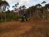 tea tree mulching